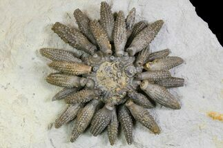 Caenocidaris cucumifera - Fossils For Sale - #139008