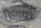 "7.6"" Plate of Four Ceraurus Trilobites - Walcott-Rust Quarry, NY - #138810-6"