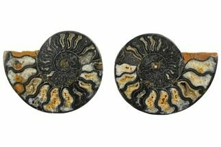 "4.28"" Cut/Polished Ammonite Fossil (Pair) - Unusual Black Color For Sale, #132641"