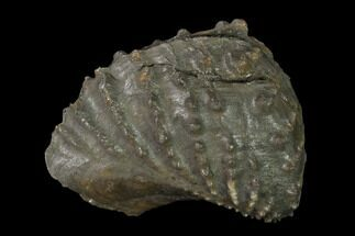 Scaphotrigonia navis - Fossils For Sale - #139398