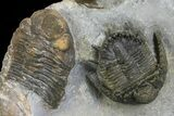 "1.3"" Akantharges Mbareki Trilobite - Tinejdad, Morocco - #139515-2"