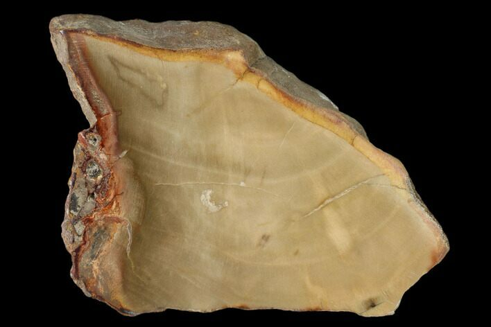 "4.1"" Petrified Wood (Araucaria) Slab - Madagascar"
