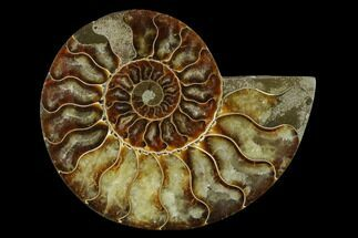 Cleoniceras - Fossils For Sale - #139677