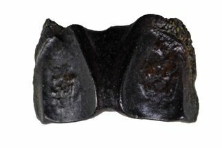 ".29"" Fossil Hadrosaur (Edmontosaurus) Shed Tooth- Montana For Sale, #135410"