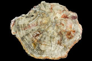 "11"" Colorful Petrified Wood (Araucaria) Round - Madagascar  For Sale, #140045"