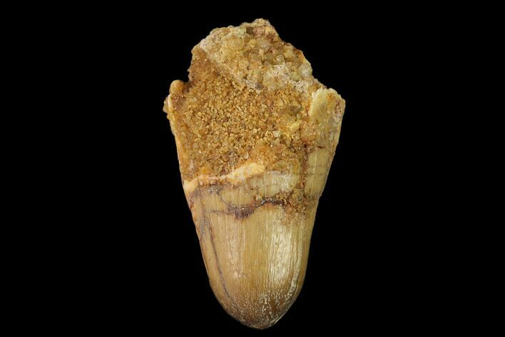 "1.02"" Cretaceous Fossil Crocodile Tooth - Morocco"