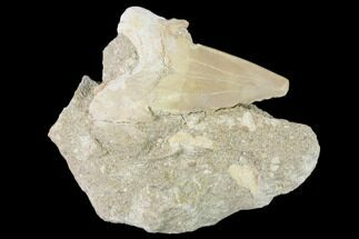 "Buy 2.4"" Otodus Shark Tooth Fossil in Rock - Eocene - #139846"