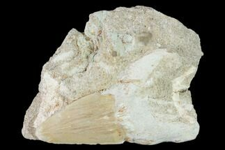 "Buy 3"" Otodus Shark Tooth Fossil in Rock - Eocene - #139852"