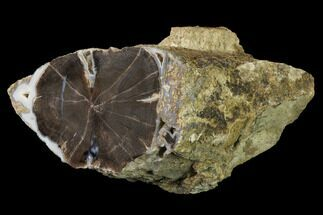 Schinoxylon sp. - Fossils For Sale - #141063