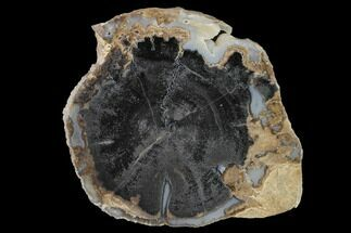 Schinoxylon sp. - Fossils For Sale - #141306