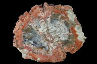 "Buy 9.6"" Polished Petrified Wood (Araucaria) Round - Arizona - #141385"