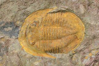 "1.25"" Orange, Ordovician Asaphellus Trilobite - Morocco For Sale, #141860"