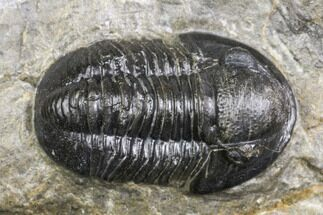".85"" Detailed Gerastos Trilobite Fossil - Morocco For Sale, #141665"