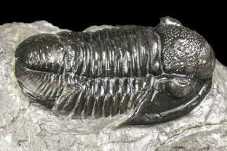 "Buy .7"" Detailed Gerastos Trilobite Fossil - Morocco - #141670"