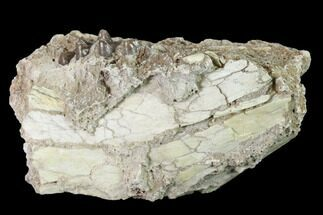 "Buy 2.57"" Fossil Horse (Mesohippus) Jaw Section - South Dakota - #140902"
