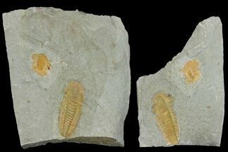"1.9"" Protolenus Trilobite Molt With Pos/Neg - Tinjdad, Morocco For Sale, #141875"