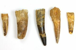 "Wholesale Lot: 2.5 to 4.1"" Bargain Spinosaurus Teeth - 5 Pieces For Sale, #141560"