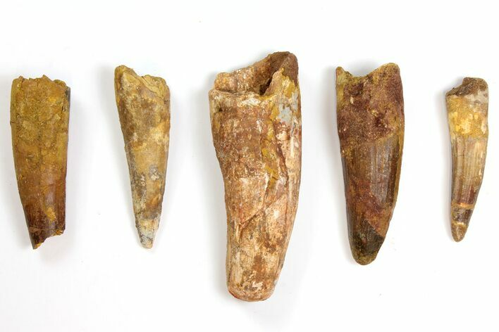 "Lot: 2.7 to 4.1"" Bargain Spinosaurus Teeth - 5 Pieces"