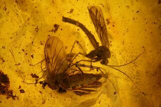 Two Large Fossil Flies (Diptera) In Baltic Amber For Sale, #142223