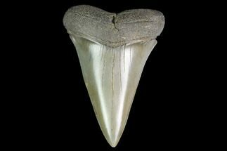 "Buy 2.35"" Fossil Mako Shark Tooth - South Carolina - #142315"