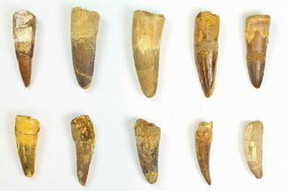 "Buy Wholesale Lot: 2 to 2.7"" Bargain Spinosaurus Teeth - 10 Pieces - #142075"