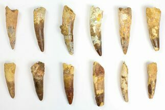 "Wholesale Lot: 2 to 2.7"" Bargain Spinosaurus Teeth - 10 Pieces For Sale, #142088"