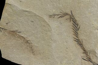 Metasequoia (Dawn Redwood) - Fossils For Sale - #142572