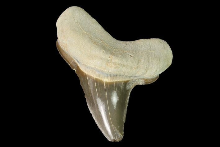 "Bargain, 1.28"" Fossil Shark (Cretoxyrhina) Tooth - Kansas"