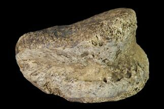 "Buy 1.35"" Fossil Hadrosaur Phalange - Alberta (Disposition #000028-29) - #143269"