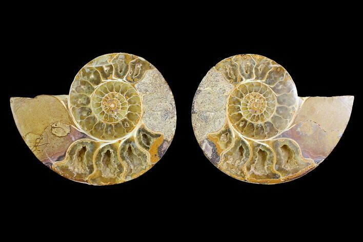 "4.4"" Cut & Polished Agatized Ammonite Fossil (Pair)- Jurassic"