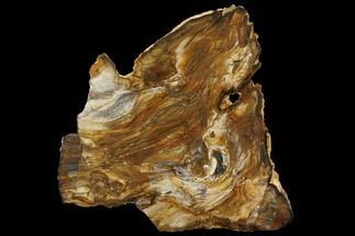 "12.8"" Unique, Brown's Ranch Petrified Wood Slab - Washington For Sale, #143825"