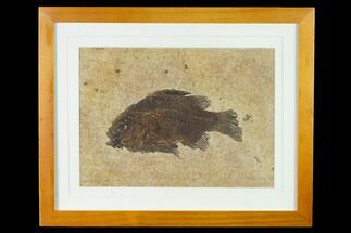 "Buy 5.15"" Framed Fossil Fish (Cockerellites) - Wyoming - #143992"