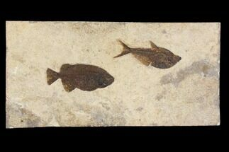 "Buy 23.7"" Fossil Fish (Phareodus & Diplomystus) Plate - Wyoming - #143998"