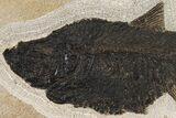 "18.9"" Fossil Fish (Diplomystus) From Wyoming - #144209-2"