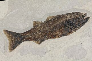 "Buy 12.3"" Uncommon Fish Fossil (Mioplosus) - Wyoming - #144211"