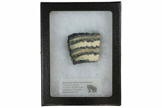 "1.4"" Mammoth Molar Slice With Case - South Carolina For Sale, #144248"