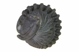".71"" Wide Enrolled Flexicalymene Trilobite - Mt. Orab, Ohio For Sale, #144488"