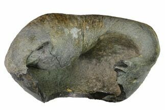 "3.8"" Fossil Whale Ear Bone - Miocene For Sale, #144902"