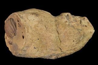 "2"" Cretaceous Coprolite (Poop) With Seed? - Judith River Formation For Sale, #144923"
