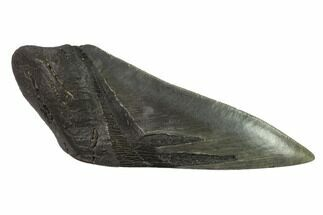 "Buy 5.3"" Partial, Fossil Megalodon Tooth ""Paper Weight"" - #144421"