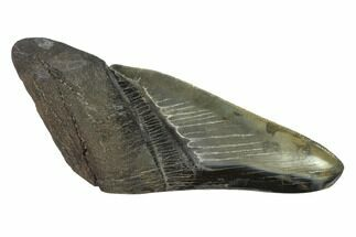 "5.2"" Partial, Fossil Megalodon Tooth ""Paper Weight"" For Sale, #144404"
