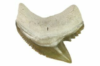 "1.03"" Fossil Tiger Shark Tooth - Bone Valley, Florida For Sale, #145157"