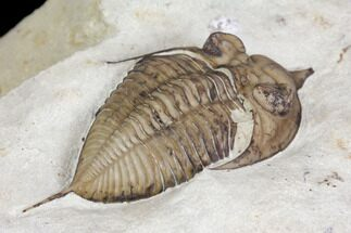 "1.65""  Huntonia Lingulifer Trilobite - Black Cat Mountain, Oklahoma For Sale, #144800"