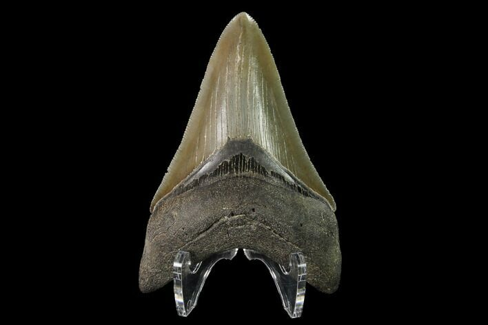 "Serrated, 3.62"" Fossil Megalodon Tooth - Beautiful Lower Tooth"