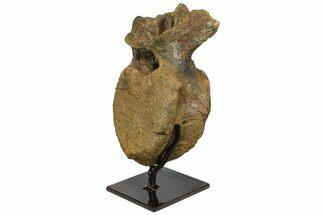 Edmontosaurus sp. - Fossils For Sale - #145767