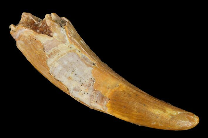 ".92"" Fossil Pterosaur (Siroccopteryx) Tooth - Morocco"