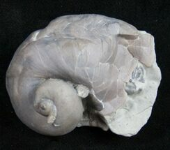 Large Platyostoma Gastropod with Crinoid Holdfast For Sale, #10100