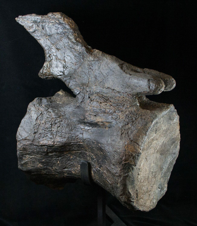 Massive Diplodocus Caudal Vertebra Dana Quarry For Sale