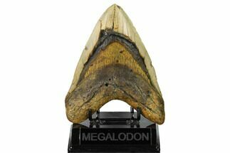 Carcharocles megalodon - Fossils For Sale - #146778