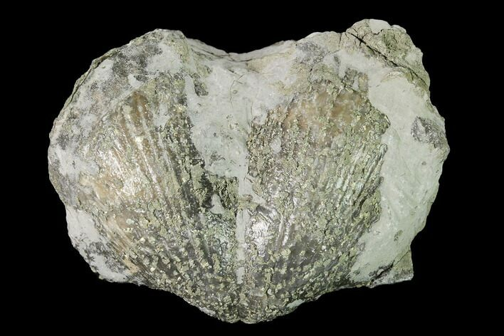 "Huge, 2.45"" Pyrite Replaced Brachiopod (Paraspirifer) Fossil - Ohio"